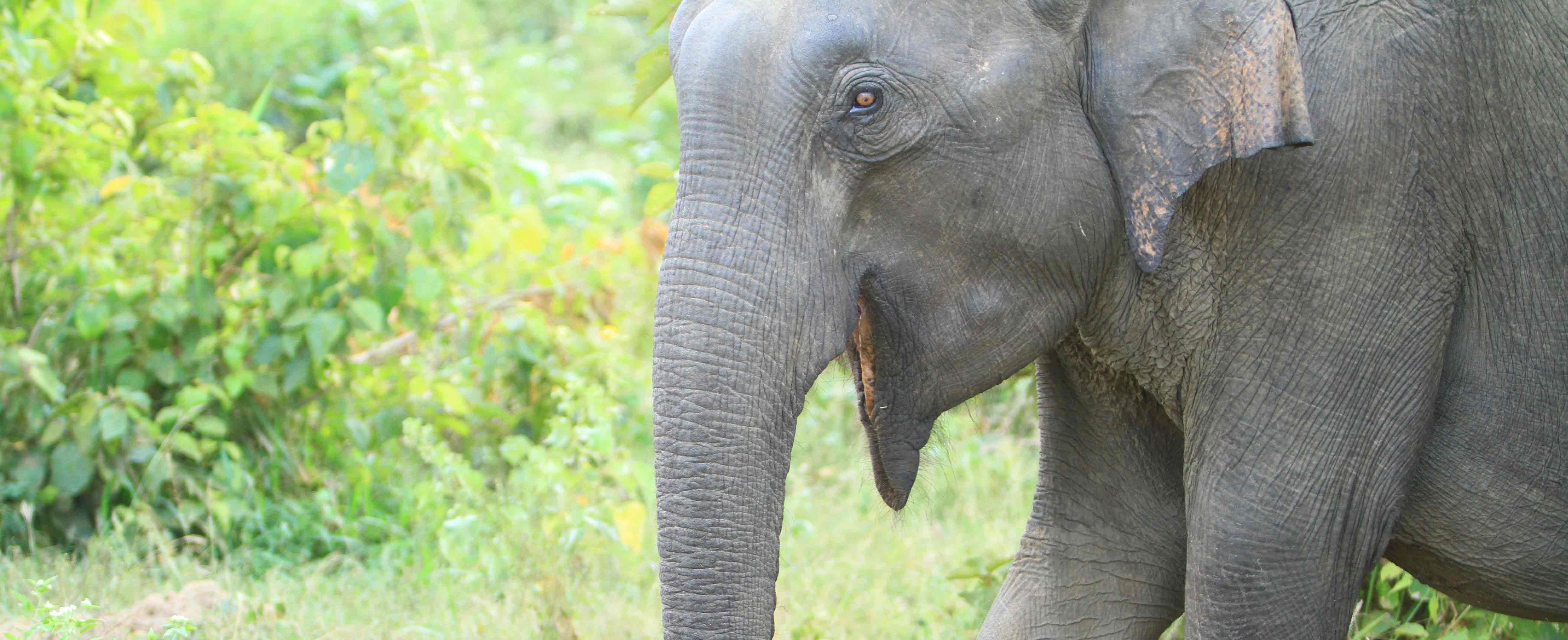 Elephant tours Sri Lanka - Elephant at Udawalawe National Prak