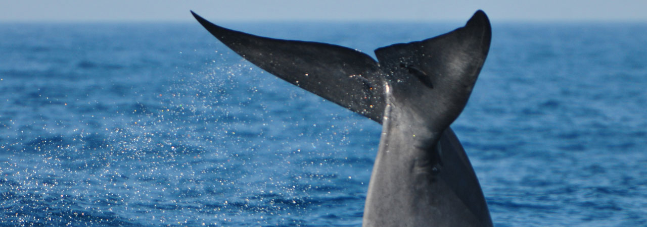 Whale Watching Sri Lanka, best Whale Watching experience with Sri Lanka Day Tours