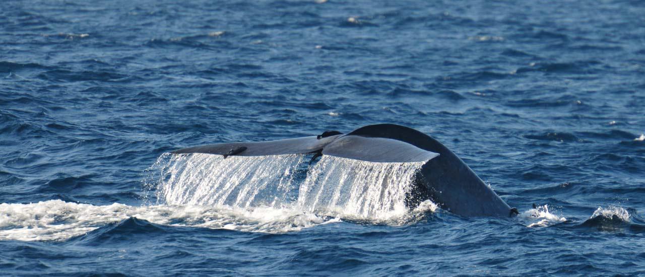 Whale Watching, Whale Watching Mirissa, Whale Watching Sri Lanka