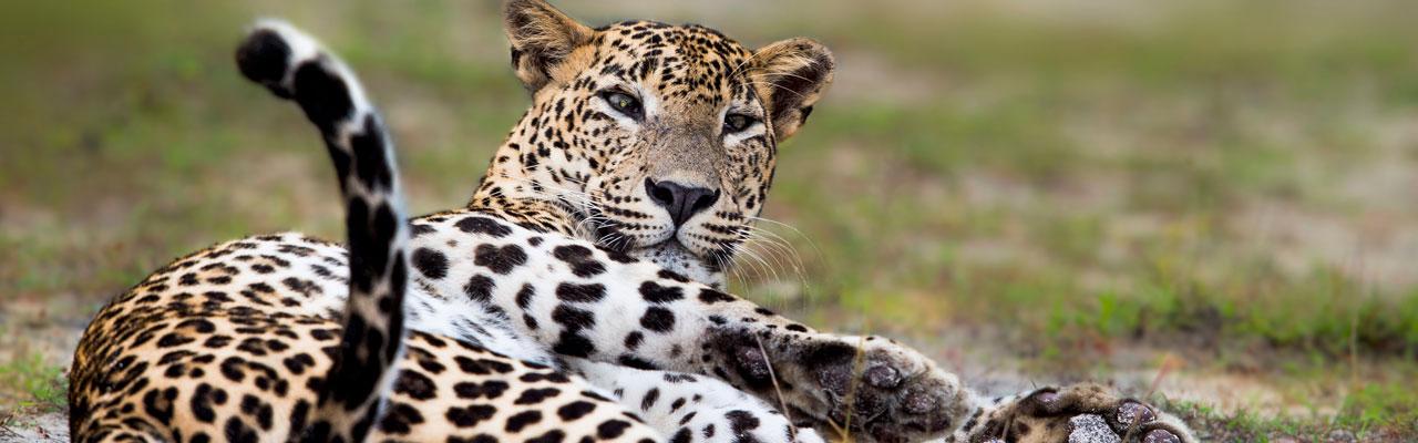Safari Sri Lanka, Sri Lanka Safari, Yala Safari, Yala national park Safari, Leopard safari Sri Lanka, Leopard Safaris Sri Lanka, day Safari Sri Lanka, Half day Safari Sri Lanka