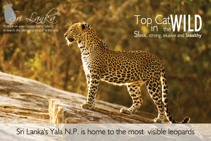 Leopard safari Sri Lanka Yala National Park is the best location for Leopard safari Sri Lanka